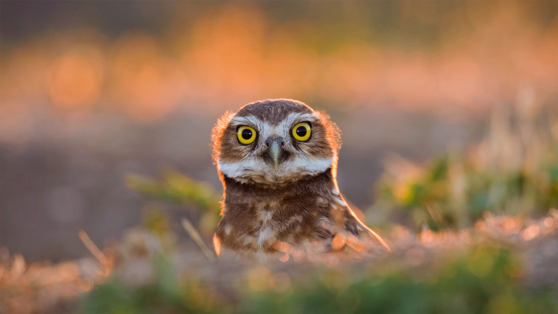burrowing owl : Here's looking at you