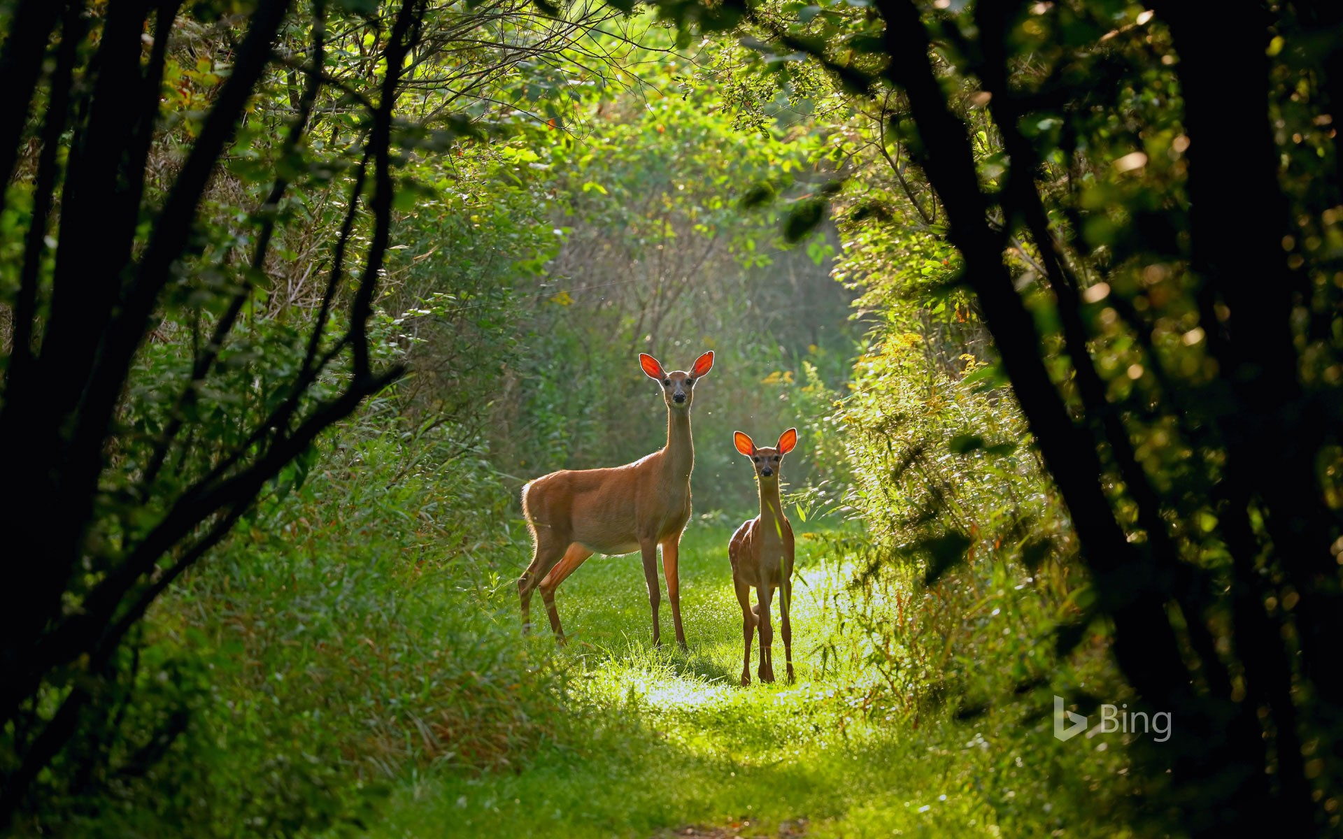 White tailed deer : Into the woods