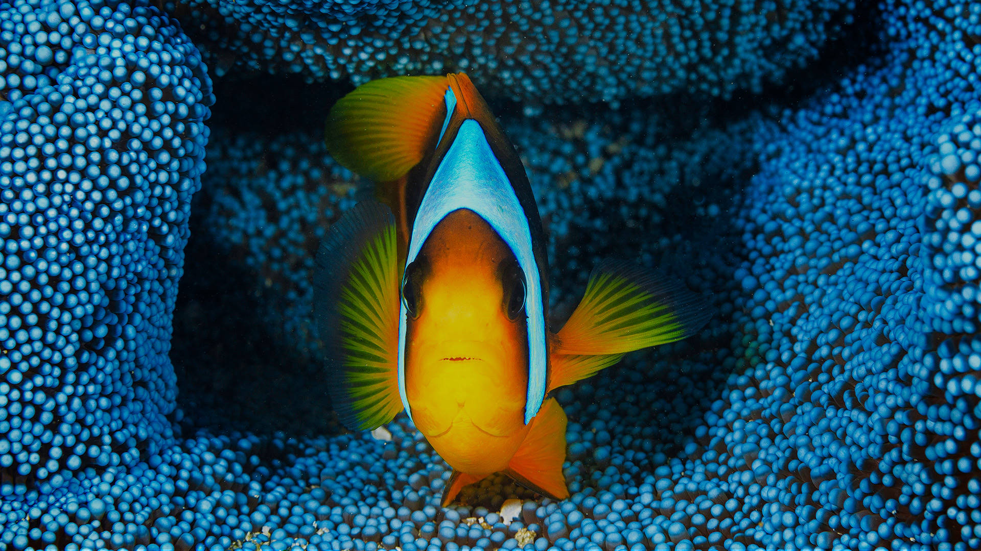 orange-fin clownfish