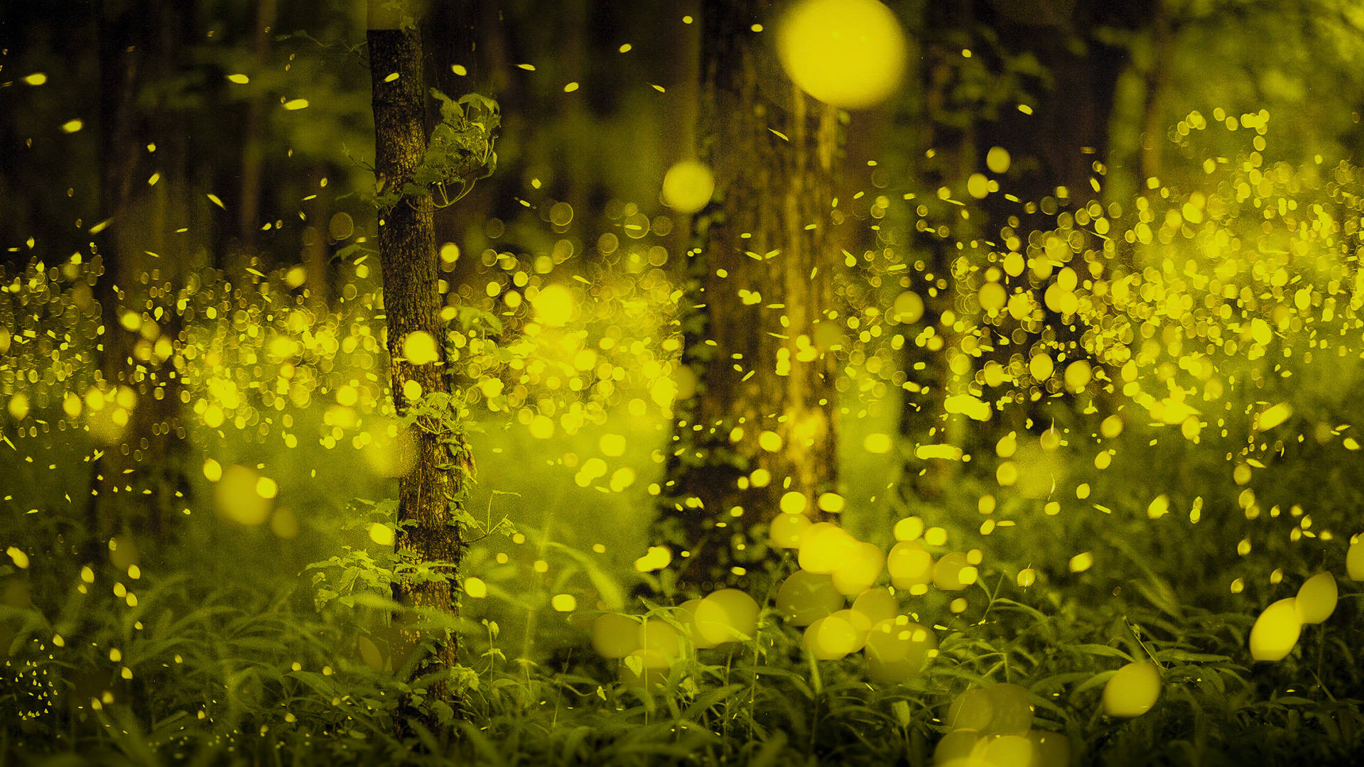 firefly (insect)