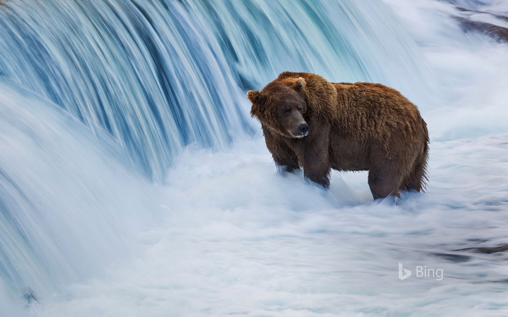 In USA's Katmai National Park, the 'swelling' is in progress. Earthy colored bears like our landing page companion are building up for the long winter, gathering at Brooks Falls to devour moving salmon. The base of the falls makes for a prime fishing spot, as it makes a brief obstruction to salmon relocating upstream. This makes the fish generally obvious targets for hungry bears, who can make up for lost time to 30 salmon daily.   This yearly gala draws in several spectators to the recreation center and a lot more on the web, where watchers can see the exhibition through live feeds. During Fat Bear Week, the general population is welcome to decide in favor of the bears that seem to pack on the most pounds. Look out for a year ago's champ—a bear named Holly portrayed as 'the shape and shade of a toasted marshmallow.'