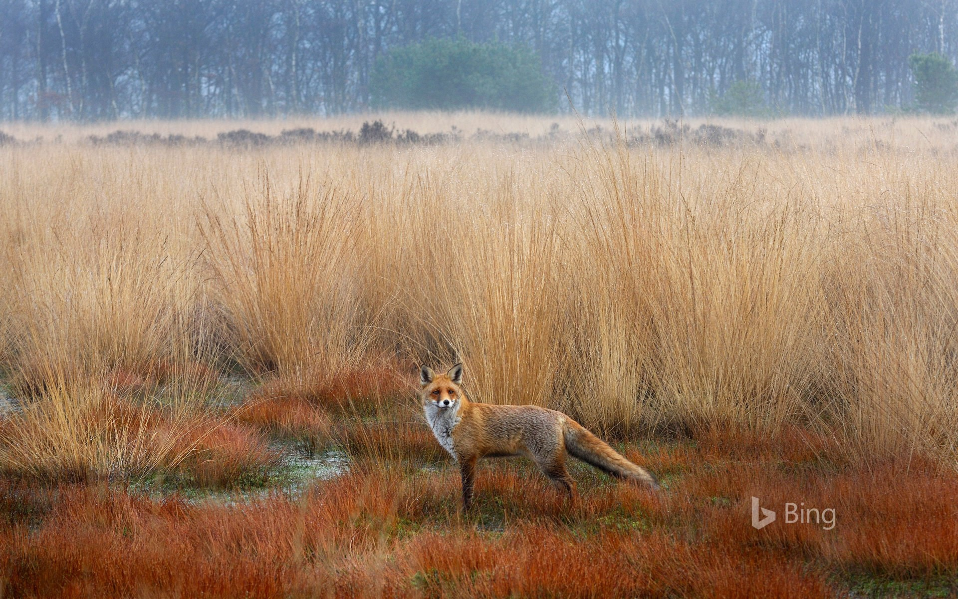 Red Fox in Netherlands