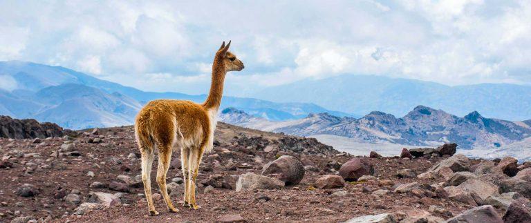 vicuña (animal)